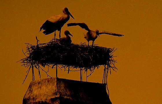 Abenddämmerung über dem Storchennest - Silhouette der Storchenfamilie