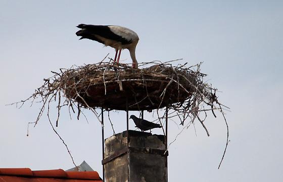 """Storch mit """"Untermieter"""" unter seinem Nest"""