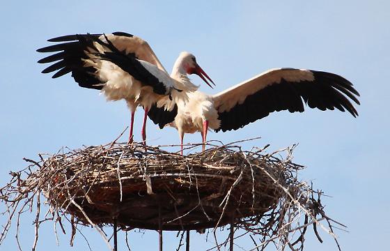Storch spreizt sein Flügel - Imponiergehabe oder Abflug?
