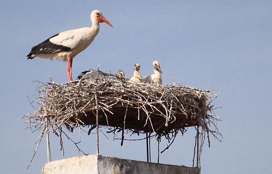 Storch in seinem Nest mit Jungstörchen
