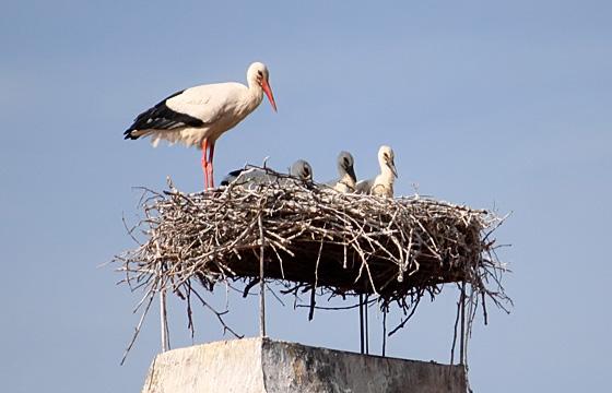 Storchenfamilie: Meister Adebar und Storchenfamilie im Storchennest