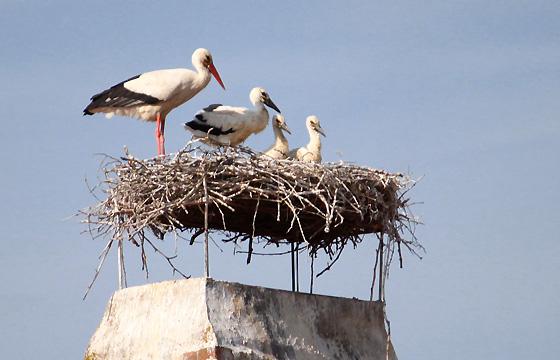 Storchenfamilie