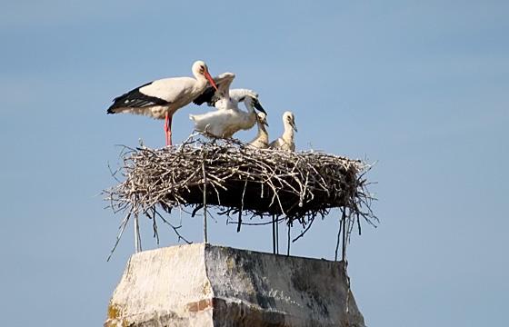 Storchenfamilie im Nest