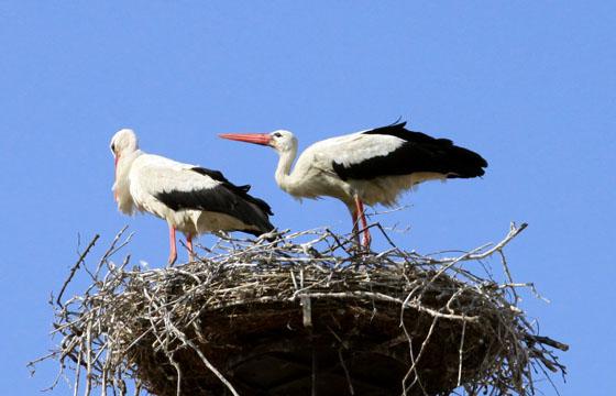 Meister adebar der Storch in seinem Nest
