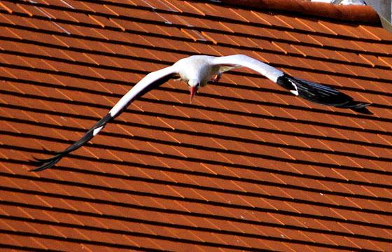 Storch im Flug / Rust am See