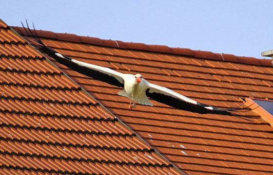 Storch im Gleitflug: Die Spannweite der Flügel ist imposant!