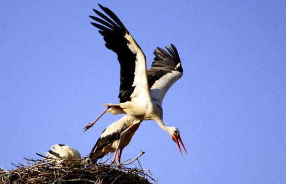 Abgehoben: Storch verlässt schwungvoll sein Nest.