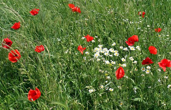 Wiese mit Mohnblumen, Kamille: Es ist Sommer!