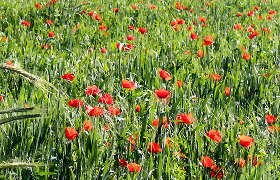 Sommerwiese mit Klatschmohn: Bunte Mohnblumen am Feld