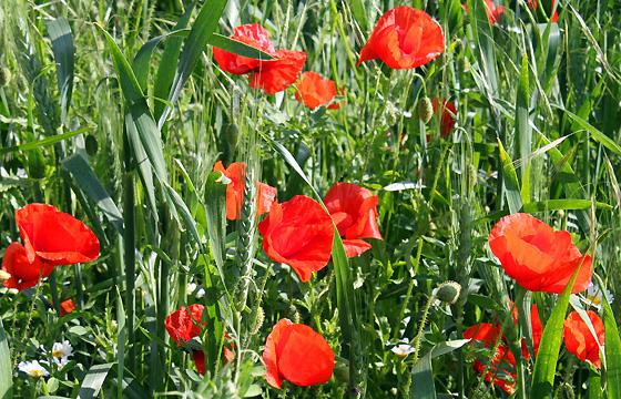 Rote Mohnblumen - Klatschmohn in freier Natur