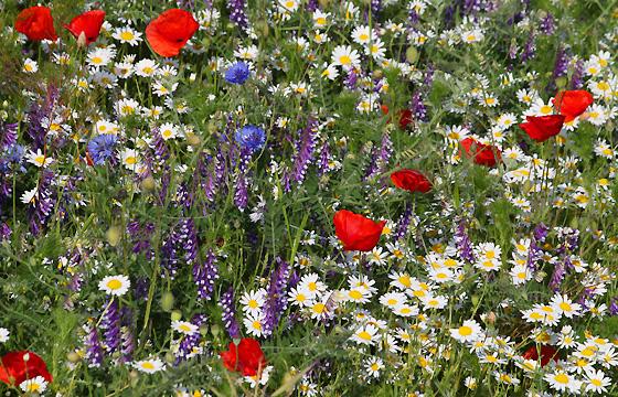 Kornblumen, Kamille, Mohnblumen auf einer duftenden Sommerwiese