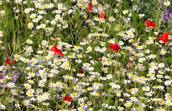 Kamille und Mohnblumen auf dem Feld