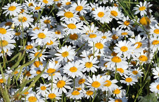 Kamille auf der Sommerwiese