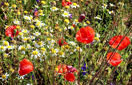 Sommerwiese mit Kamille und Klatschmohn