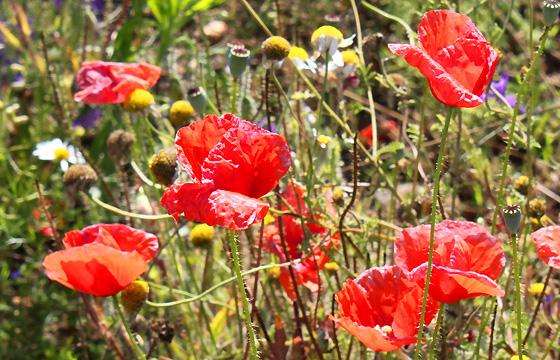 Summertime: Bunte Feldblumen auf Wiese: Mohn, Kamille, ....