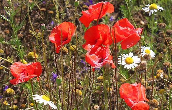 Klatschmohn - Mohnblumen auf einer Sommerwiese
