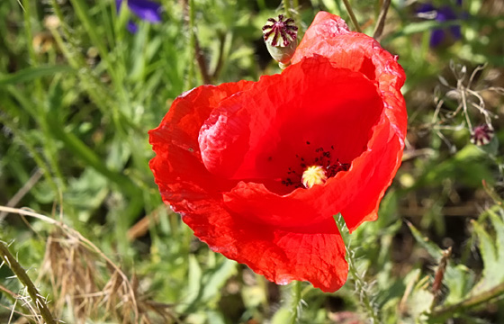 Rote Mohnblume / Klatschmohn in voller Blütenpracht