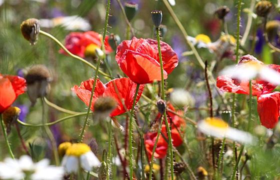 Sommerwiese mit Mohnblumen