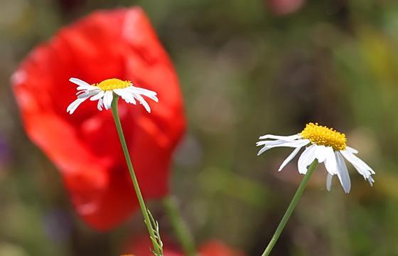 Kamille, im Hintergrund eine Mohnblume im Feld