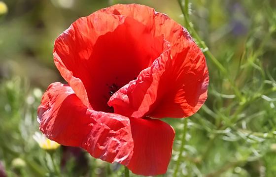 Rote Mohnblume - Klatschmohn in Nahaufnahme