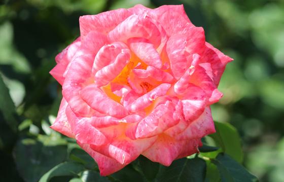Rote Rose - Nahaufnahme