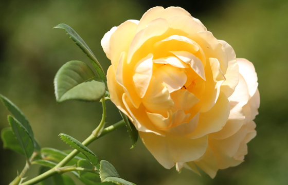 Gelbe Rose - Nahaufnahme