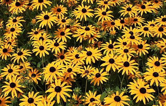 Blumenmeer - Gelbe Blumen im Beet