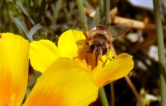 Biene auf einer gelben Dotterblume