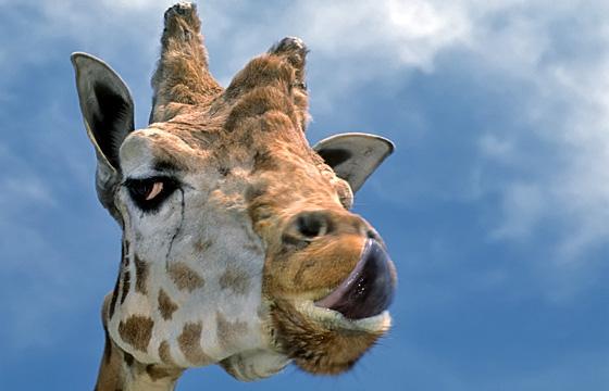 Tierportrait: Giraffe