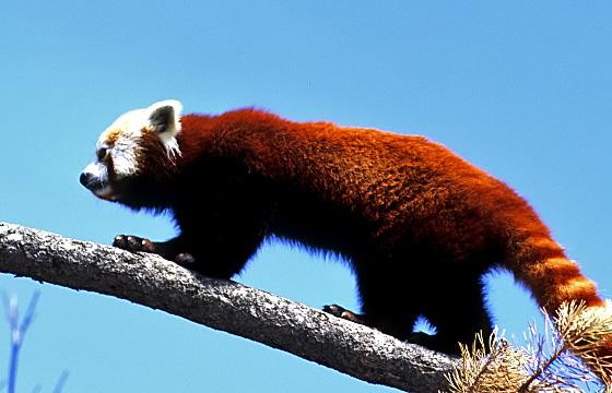 Tierportrait: Kleiner Panda