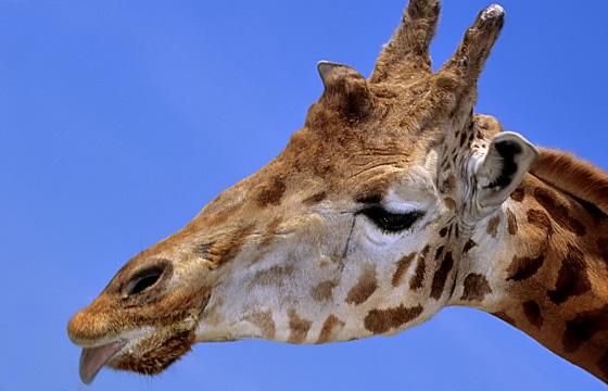 Tierporttrait: Giraffe