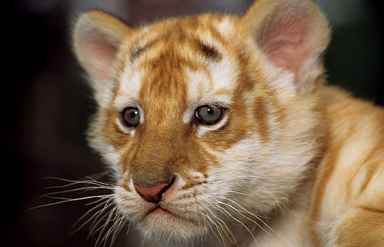 Tigerbaby / Weisser Tiger