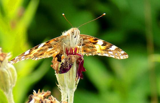 Brauner Falter - Schmetterling