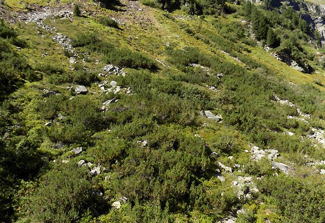 Latschenwald - Latschenkiefer in der Gletscherwelt Weißsee